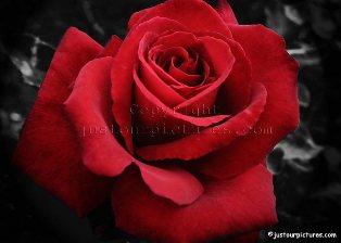تاریخچه گل سرخ