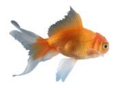 چطور از ماهي قرمز نگهداري كنيم؟
