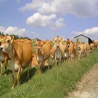 روغن آفتابگردان، سلنیوم و ویتامین E در جیره غذایی گاوها
