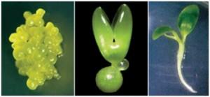 کاربرد روشهای بیوتکنولوژی در افزایش بهرهوری گیاهان دارویی