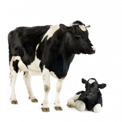 روشهای بهبود تلقیح مصنوعی گاو