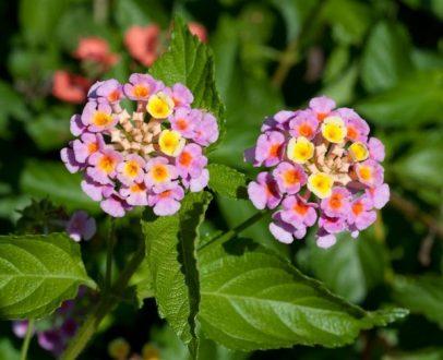 درمان عفونت معده با گل شاه پسند