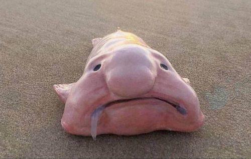 زشت ترین ماهی