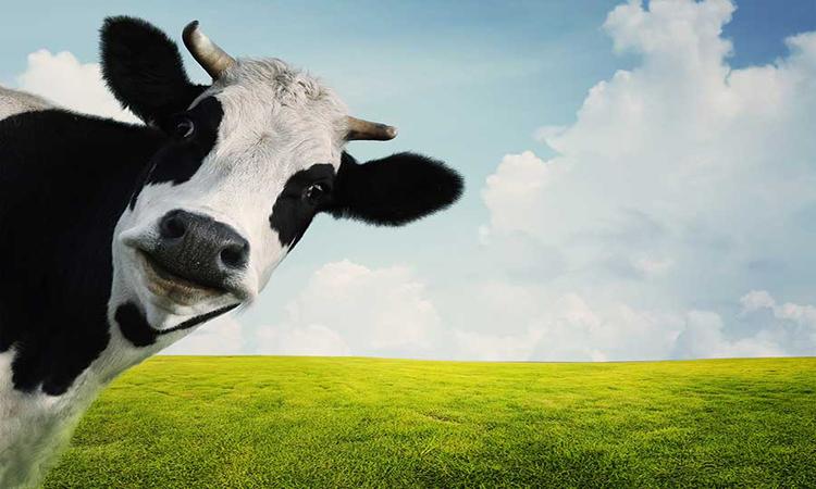 پرورش گاو شیری