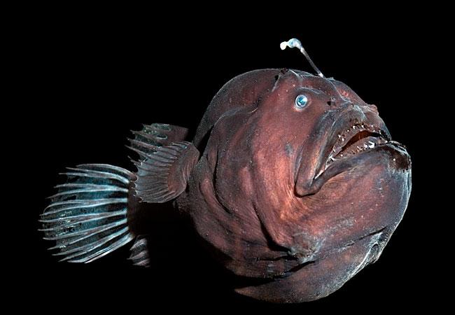 قلابچه ماهی
